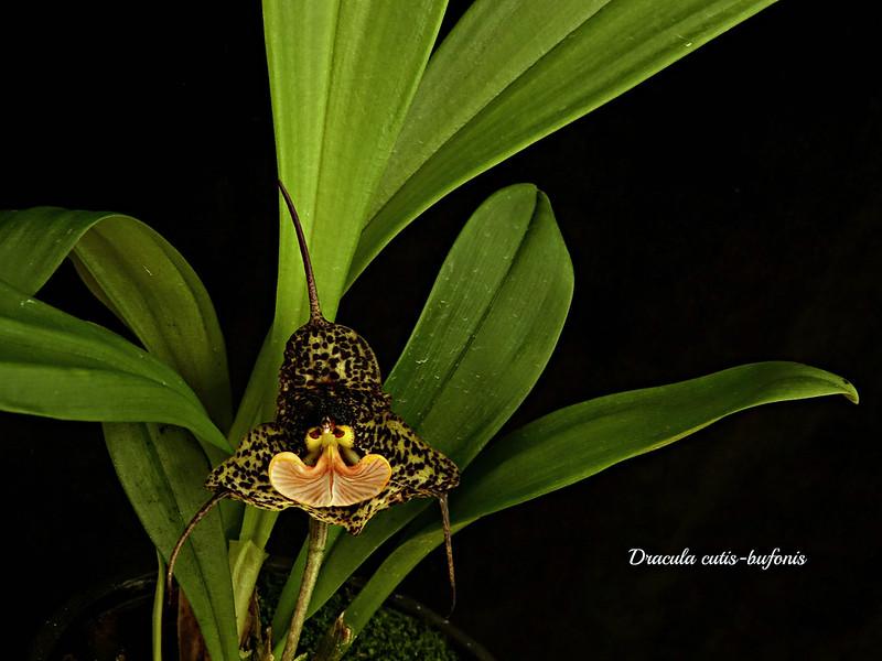Dracula Sammelthread - Seite 13 49680842376_dc0a5ca0b9_c