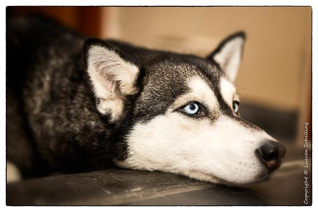 Calia the husky  #sigma50mmart  #SIGMA #canonphotography