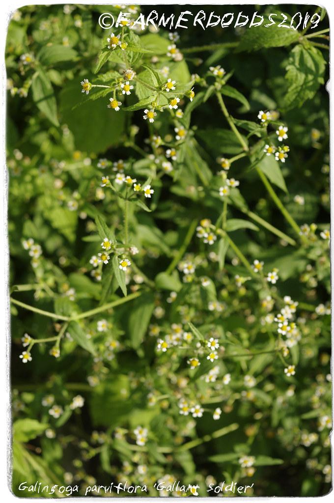 Galinsoga parviflora 'Gallant Soldier'
