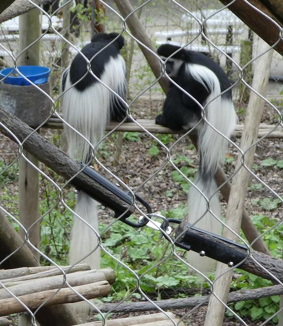 Columbus Zoo - Colobus Monkeys