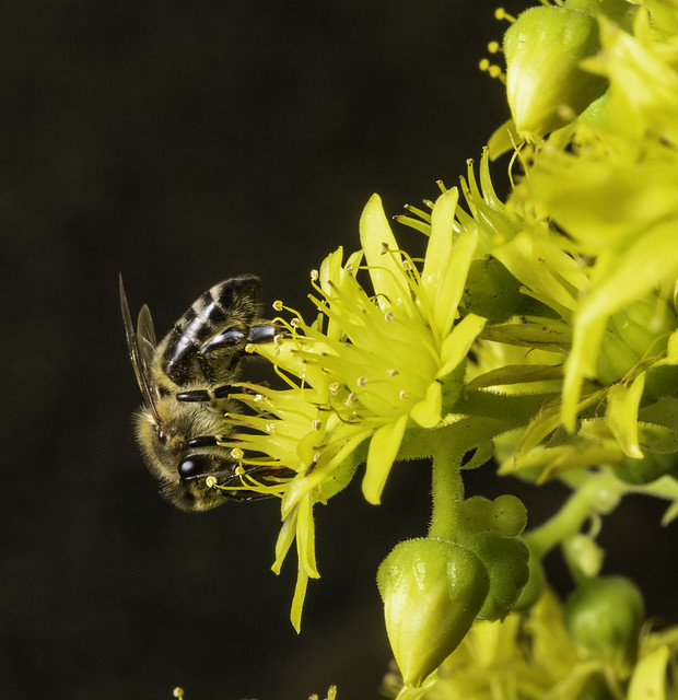 The Pollinator And The Succulent Flower