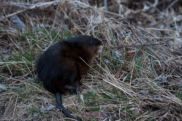 A muskrat by any other name is still a rat.