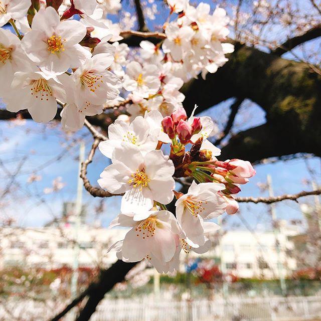 桜、満開の木もある。#お花見 #歩いてお花見