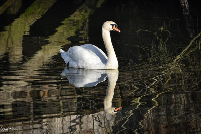 Resident Swan - VIllage of Finn Slough