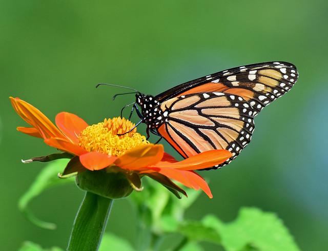 810_1171.jpg= Monarch Butterfly