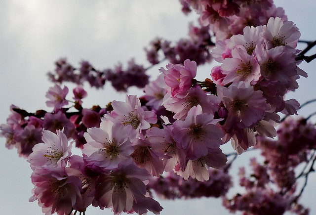 GERMANY, Leonberg, Kirschblüten im Pomeranzengarten, Frühling ist da , 77000/12492