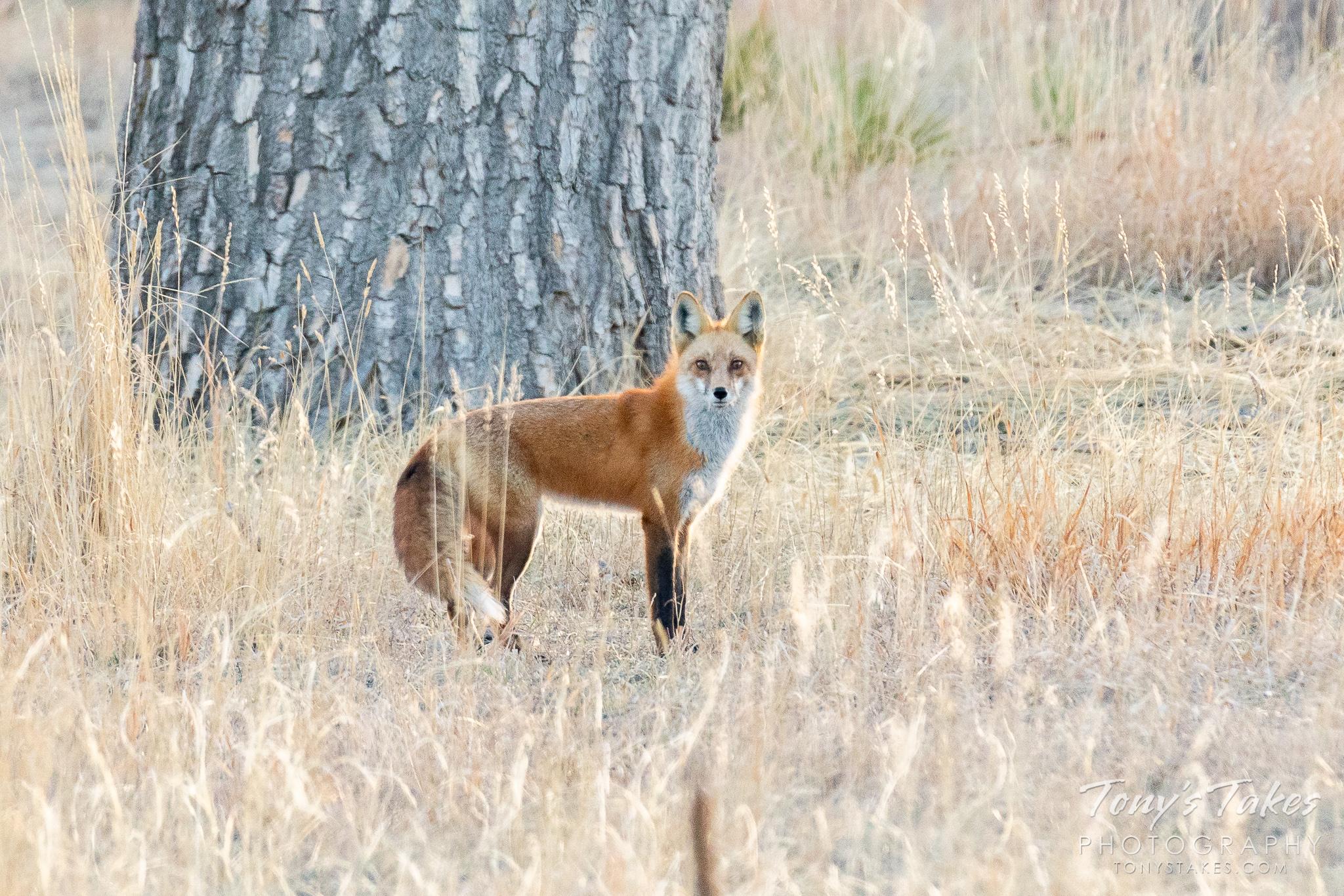 Longshot fox