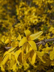 A flurry of forsythia