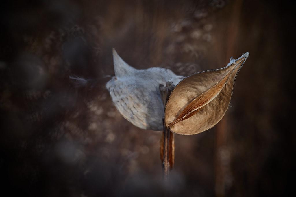 milkweed, in afternoon, 12-7-19 5