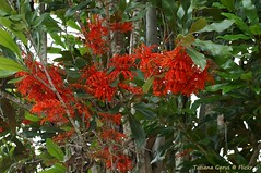 Firewheel flowers (Stenocarpus sinuatus)