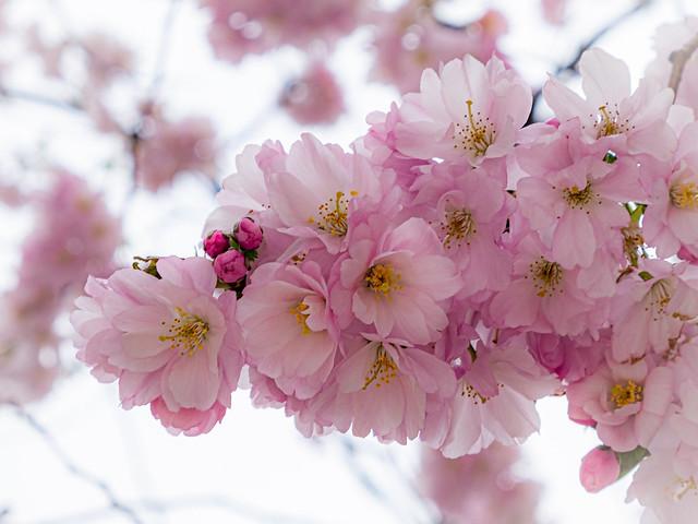 Cherry Blossom (explored)