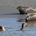 Explore : Phoque gris ( Halichoerus grypus )