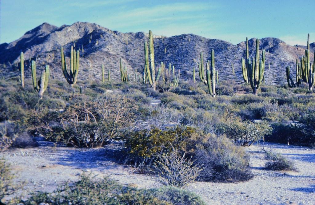 """Cardon """"Forest,"""" Punta Cirio, Sonora, Mexico"""