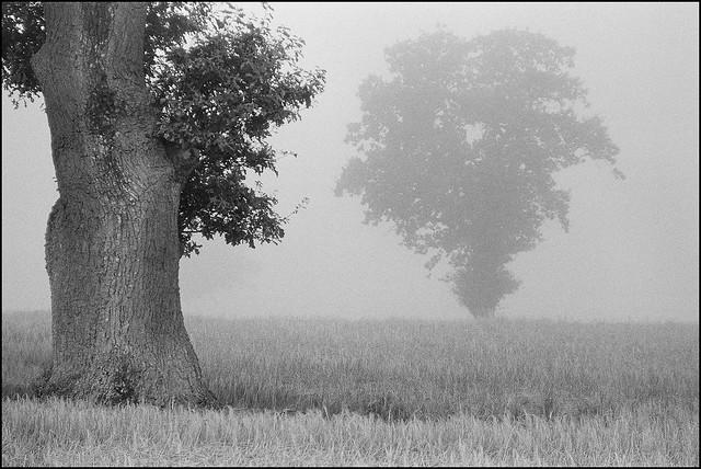 Oak - Ilford HP5