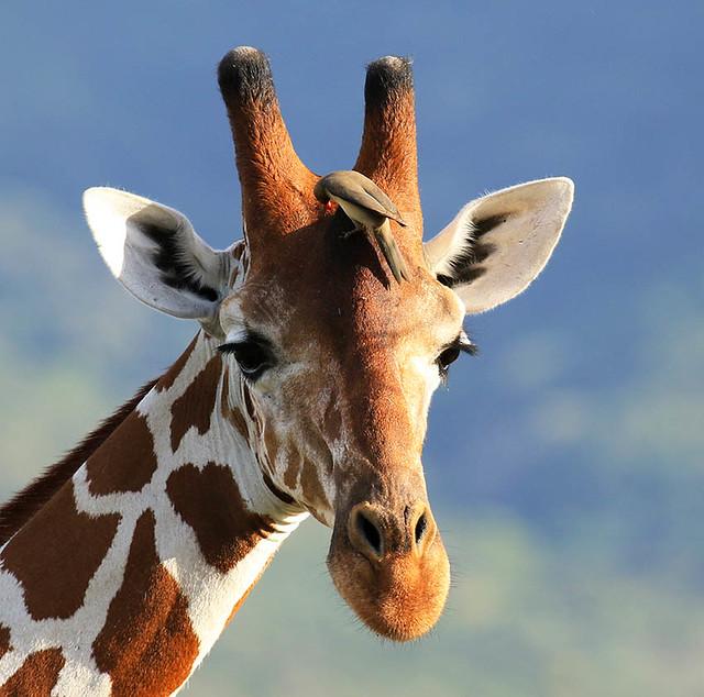Reticulated giraffe and red-billed oxpecker - Namunyak Wildlife Conservancy - Northern Kenya