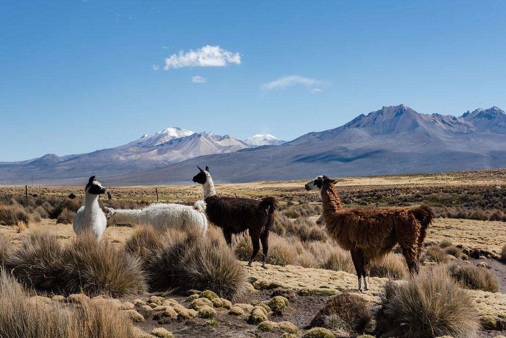 Lamas sur le plateau de Sajama