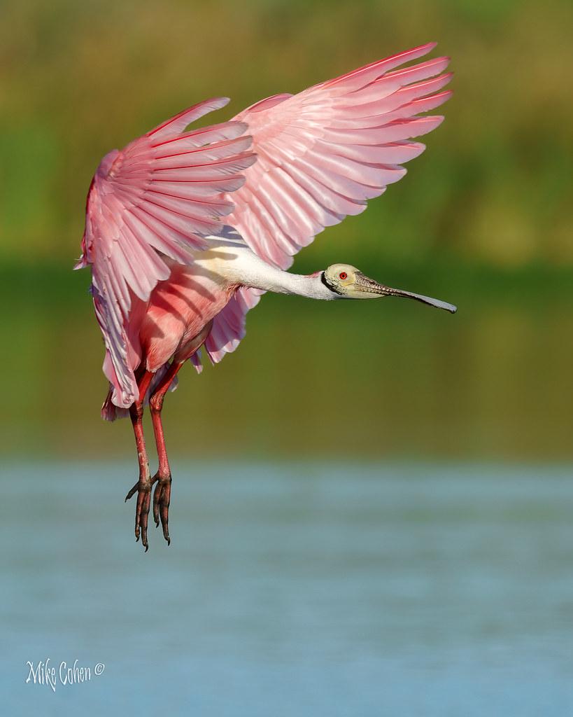 Roseate Spoonbill Profile Landing