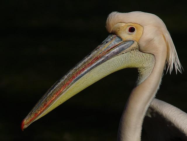 Tg Nbg     Pelecanus onocrotalus    200316