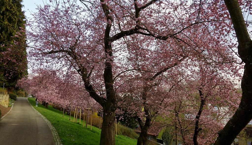 GERMANY, Leonberg, Kirschblüten im Pomeranzengarten, Frühling ist da , 77001/12493