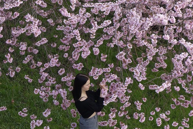 GERMANY, Leonberg, Kirschblüten im Pomeranzengarten, Frühling ist da , 77004/12496