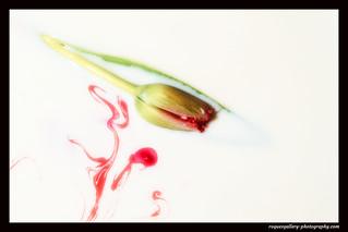 Bloody Tulip