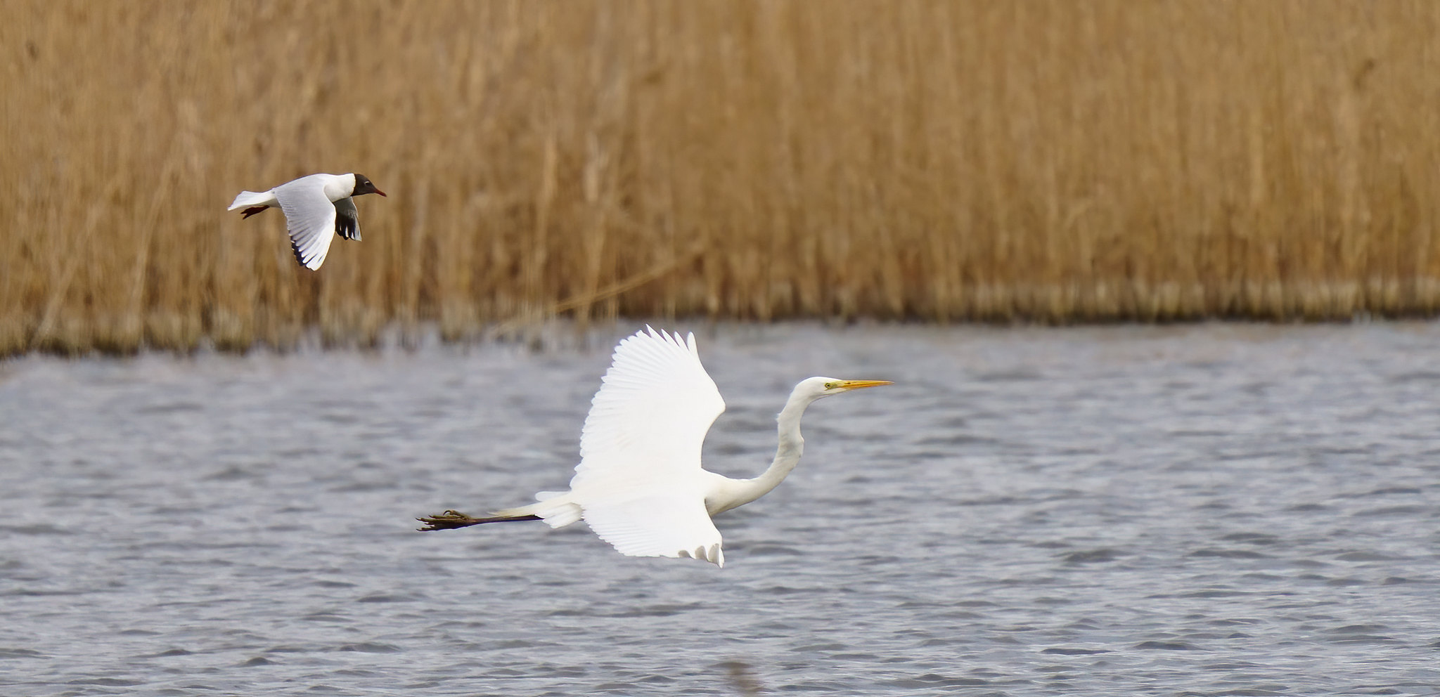 BHG - Great White Egret - get off my land!
