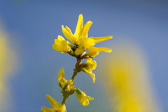 Forsythia in the Spring