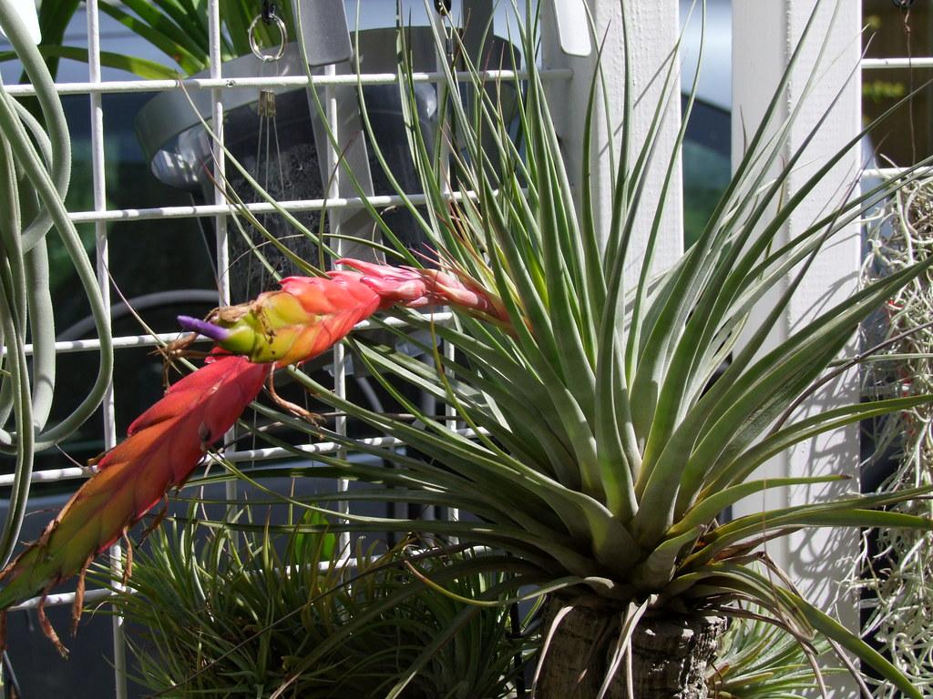 Tillandsia fasciculata