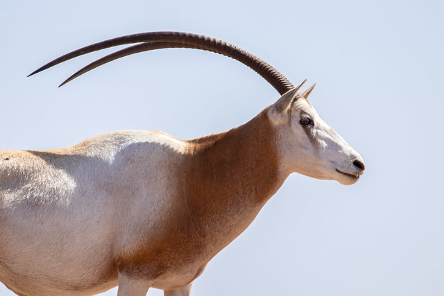 Oryx dammah (Scimitar-horned Oryx) - Bovidae - Souss-Massa NP, Agadir, Morocco-8-2