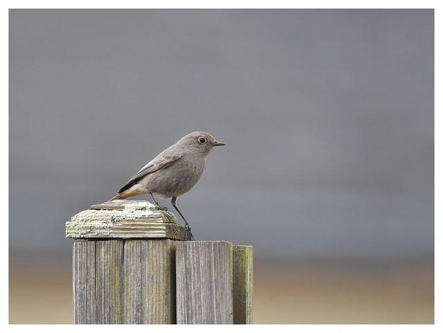 Rougequeue noir femelle-Black Redstart female- DSC_7048