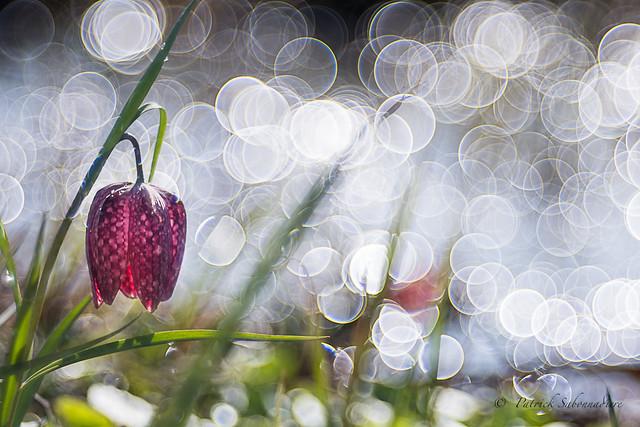 Fritillaire pintade-Fritillaria meleagris