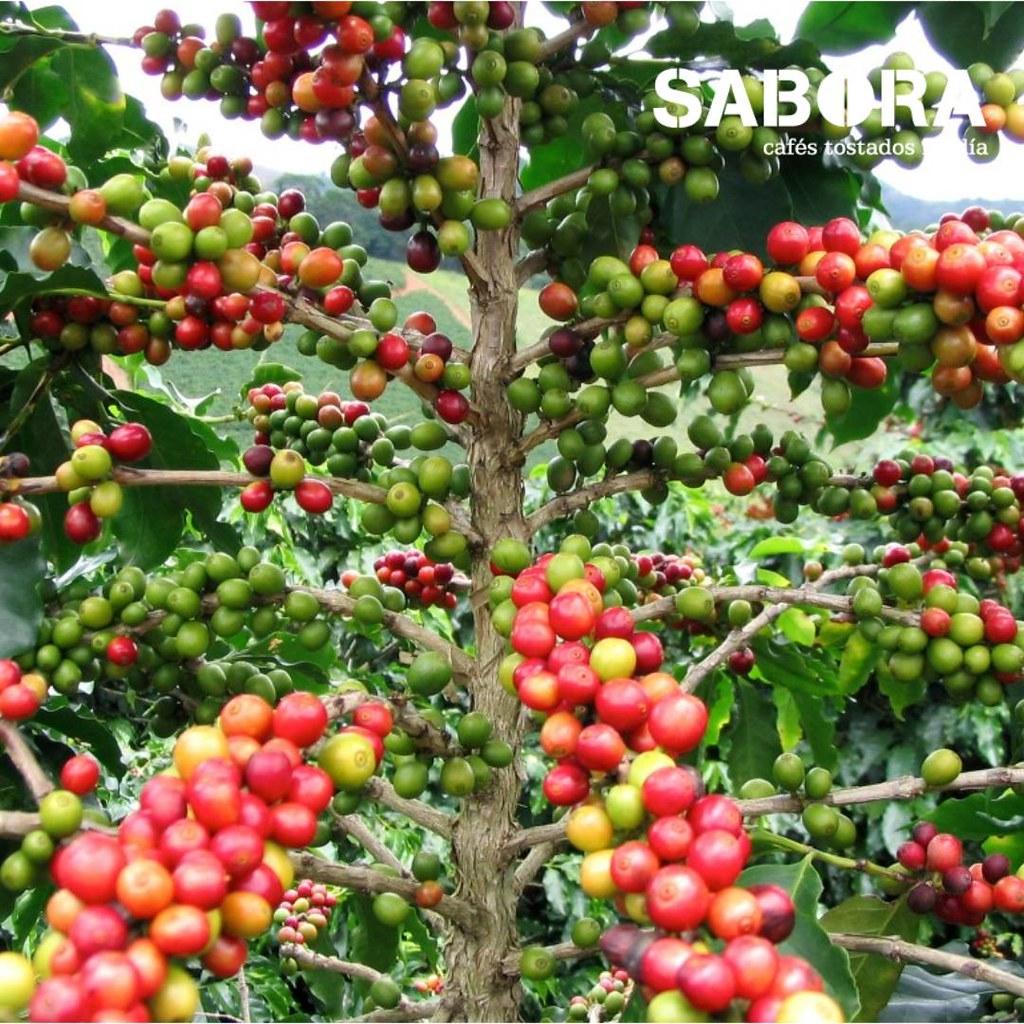 Cafeto de arábica con cerezas de café