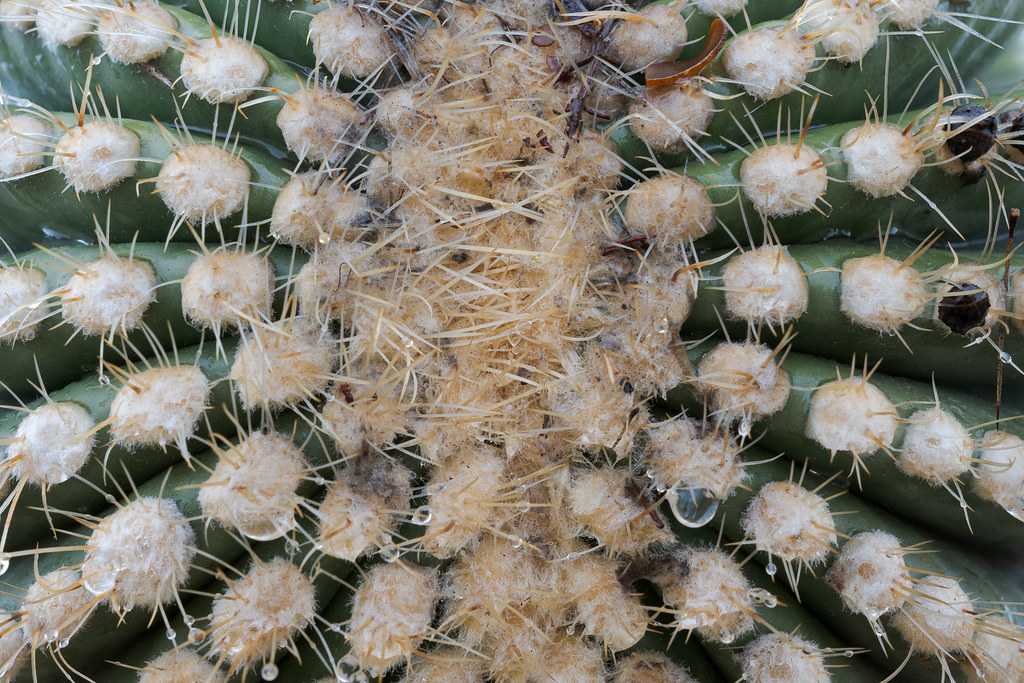 A close-up view of water dripping from the tip of a saguaro arm on the Jane Rau Trail in McDowell Sonoran Preserve in Scottsale, Arizona in December 2019