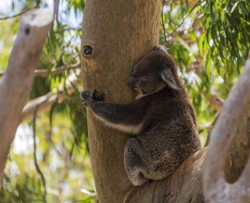 австралия australia перт perth янчеп yanchep пейзаж landscape круиз cruise dmilokt дерево коала koala ins