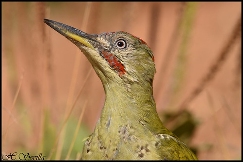 Pito Real (Picus viridis)