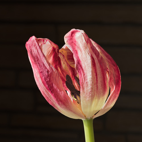 Dying Tulip | by André Lagacé