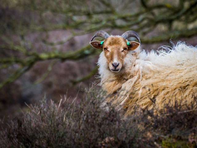 Epic sheep 🐑