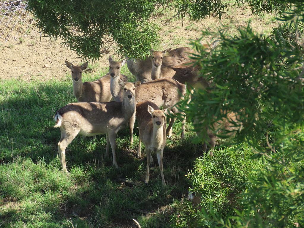 社頂研究中心圍籬隔開人與鹿的距離。這群基於國家政策復育的台灣梅花鹿,何去何從成了保育功課。攝影:廖靜蕙
