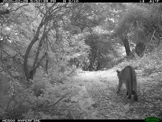 2020-02-29 5:52pm Mountain Lion; motion sensor camera