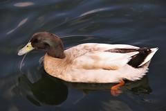 Duck at St. Ferdinand Park