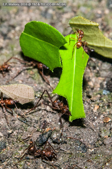 2016-04-06 TEC-1998 Leafcutter ants (Atta cephalotes)