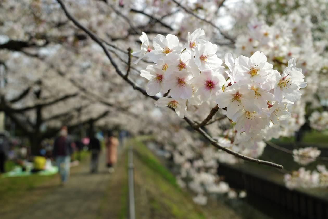 【お花見散策】善福寺川の桜