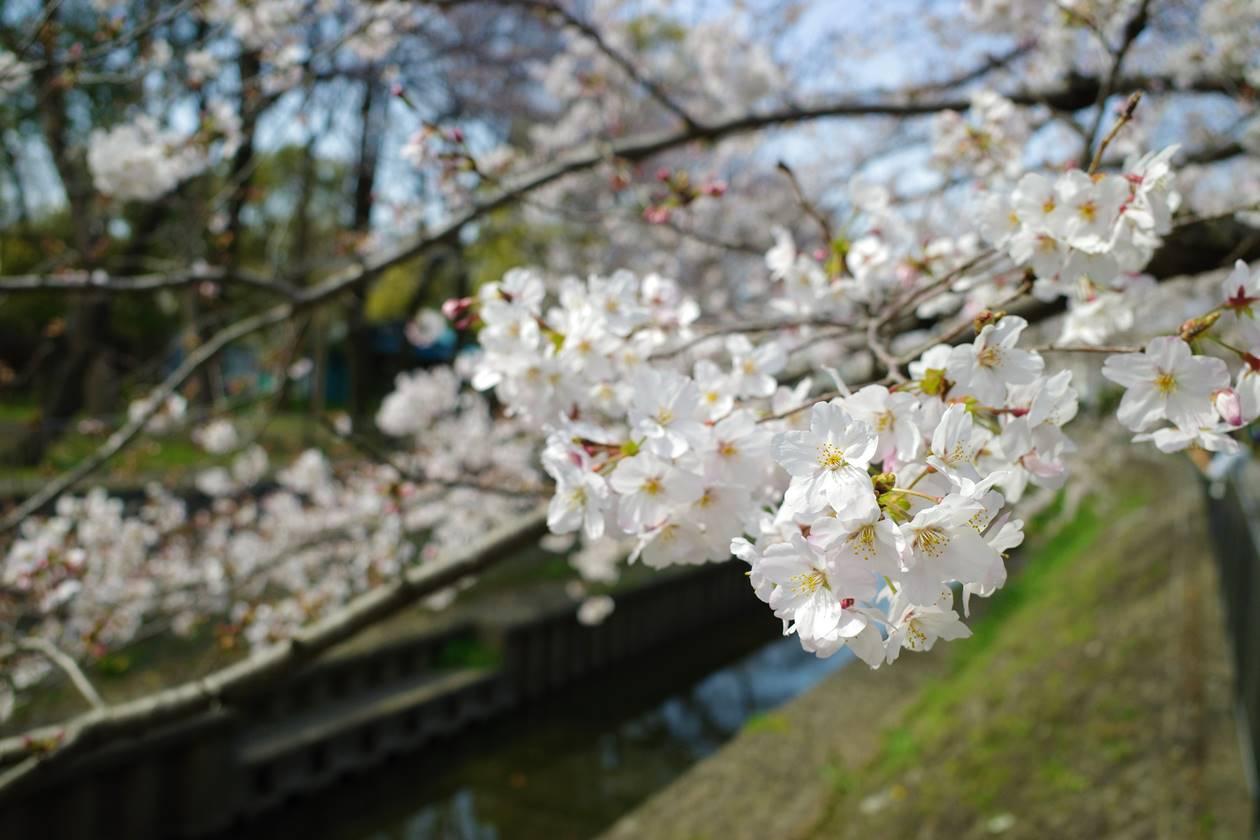 善福寺川緑地でお花見散策