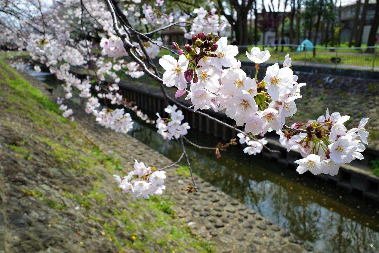 東京都杉並・善福寺川の桜