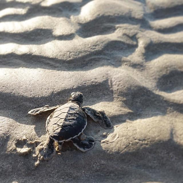 Phượt Hot - Phượt Côn Đảo xem rùa đẻ trứng (5)