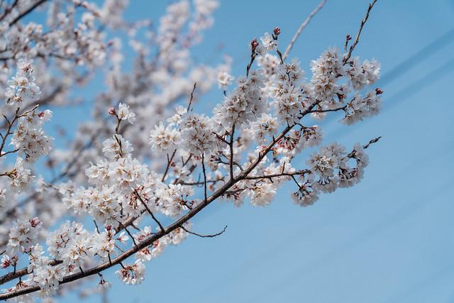 CherryBlossoms_03