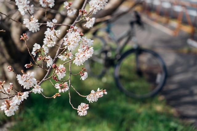 CherryBlossoms_02