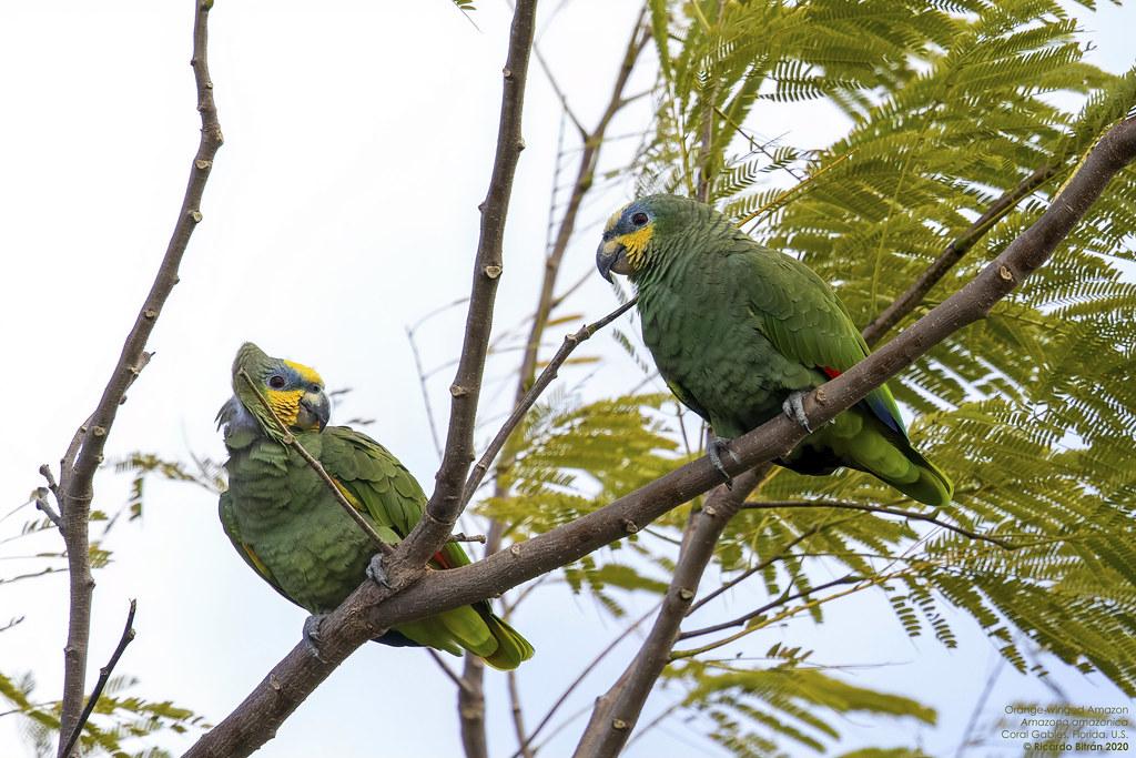 Orange-winged Amazon (Amazona amazonica) Coral Gables, Florida, U.S. 2020-01
