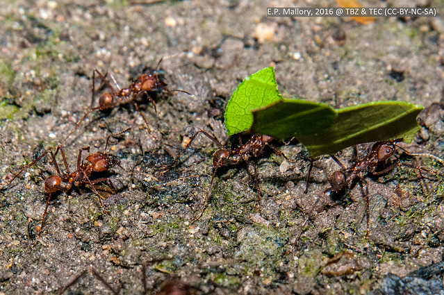 2016-04-06 TEC-2002 Leafcutter ants (Atta cephalotes)