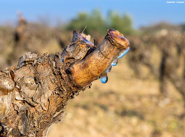 Au printemps on dit que la vigne